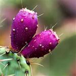 بذر کاکتوس اپونتیا میوه دار