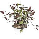 برگ بیدی چشم آهویی – Tradescantia albiflora