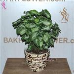 گلدان گیاه سینگونیوم bfc-305