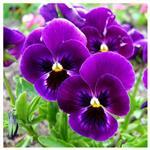 بذر گل بنفشه گل درشت زرد خال دار Violet