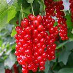 نهال رد کارنت (انگور فرنگی قرمز) Ribes rubrum
