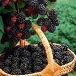نهال بلک بری  BlackBerry