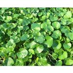 بذر چمن دایکوندرا (شبدر زینتی)