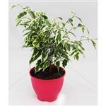 گیاه آپارتمانی بنجامین ابلق در گلدان پلاستیکی 3017